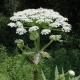 WARNING – TOXIC GIANT HOGWEED